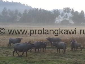 Водный буйвол в утреннем тумане