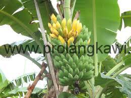 Бананы в Малайзии