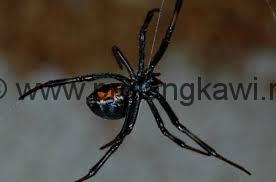 Основное отличие Малазийской черной вдовы-оранжевые песочные часы на панцире