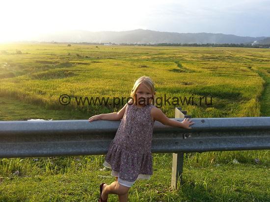 Рисовые поля на Лангкави