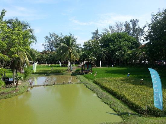 Сад риса на Лангкави