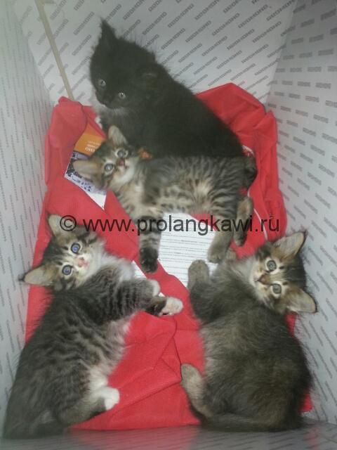 Кошки в Малайзии