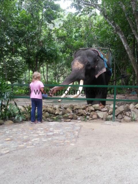 Индийский слон на Лангкави